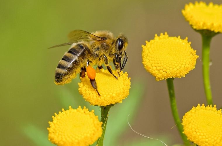 studiu-veninul-albinelor-europene-poate-distruge-celulele-cancerului-la-sin