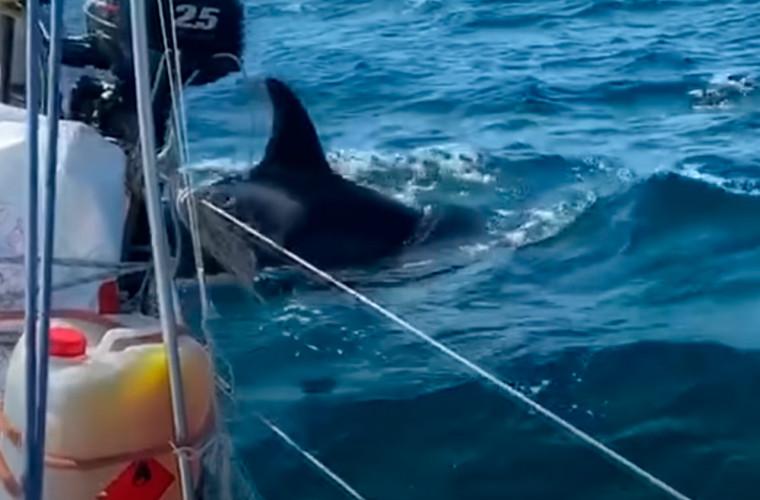 balenele-ucigase-ataca-barcile-oamenii-de-stiinta-sint-nedumeriti-video